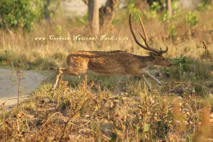 Corbett National Park - Chital Cheetal Chital Spotted Axis Deer Photo Gallery